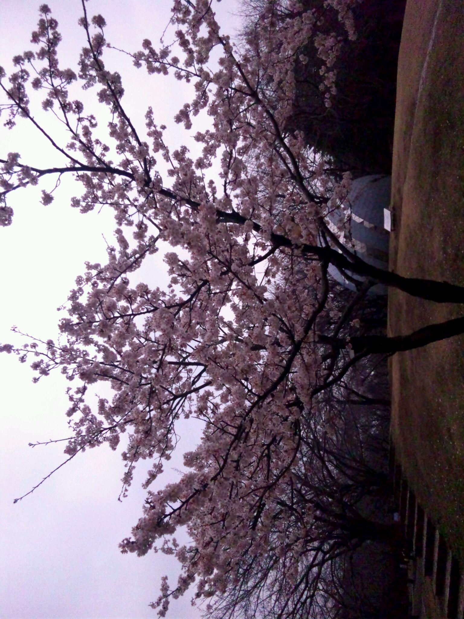 No422 prime 「桜」