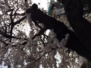 prime「桜」